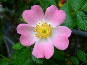 Rosa canina vitamina c