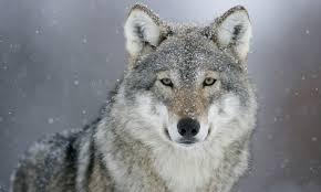 Storia dei miei lupi Fridlund deaplaneta